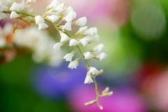 ハーデンベルギア/ Hardenbergia violacea (nobuflickr) Tags: flower nature japan kyoto 日本 花 thekyotobotanicalgarden hardenbergiaviolacea 京都府立植物園 awesomeblossoms ハーデンベルギア マメ科ハーデンベルギア属 20160211dsc00974