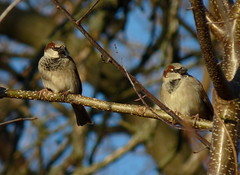 House Sparrows (Dendroica cerulea) Tags: winter bird birds newjersey nj aves sparrow highlandpark housesparrow passerdomesticus songbird passer passeriformes englishsparrow middlesexcounty passeridae passeri donaldsonpark passerida passeroidea psittacopasserae eufalconimorphae