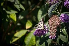 Remember last summer ... (christian.grelard) Tags: flowers summer sun nature leaves fleurs canon butterfly eos soleil papillon t feuilles insecte faune 700d canonfrance