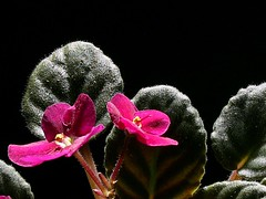 Age meets beauty (LarryJ47) Tags: leica plant flower green sunshine leicadigilux2 african violet digilux