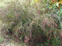 starr-070830-8206-Russelia_equisetiformis-flowering_habit-Sun_Yat_Sen_Park_Keokea-Maui (Starr Environmental) Tags: russeliaequisetiformis