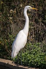 RanchoSanJoaquinWildlife (rskim119) Tags: ca white bird nature animal nikon san sitting outdoor wildlife great joaquin marsh tamron egret sanctuary irvine rancho 70300 irwd d3300