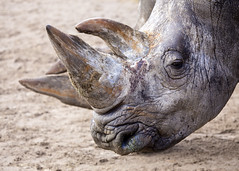 Rhinoceros (Hans van der Boom) Tags: netherlands animal nederland rhino nl safaripark beeksebergen noordbrabant rhinocerus hilvarenbeek pregamewinner hilarenbeek