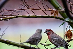 Then I'll Sing to You (Gabriel FW Koch) Tags: b tree nature birds canon outside eos dof outdoor wildlife telephoto finches rainy lovebirds raining songbirds housefinches