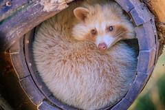 Raccoon 2016-01-28-0222 (bzd1) Tags: nature animal mammal outdoor natuur raccoon dieren carnivore procyon wasbeer dierenrijk