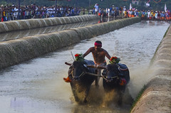 DSC_3396 (Ranjith_july) Tags: india motion sports water dedication race speed cow buffalo action bull freeze watersports custom panning southindia sportsphotography actionphotography buffalorace kambala fastpanning