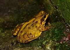 Common Frog (rac819) Tags: garden frog rana gardenwildlife ranatemporaria commonfrog