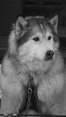 the old man (pghflwr2000) Tags: dog sleddog presqueisle huskie eriepa presqueislesnowday