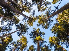 Himmelsstrmer (kreativmodus.de) Tags: blue trees sky green nature big high log natur creative logs himmel treetrunk tall grn blau bume gros treetrunks baumstmme kreativ postprocessing bole baumstamm hoch bildbearbeitung ebv boles kreativmodus kreativmodusde