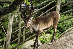 Deer at Skansen in Stockholm, Sweden 5/9 2010. (photoola) Tags: animal sweden stockholm deer skansen djurgården kronhjort djur photoola