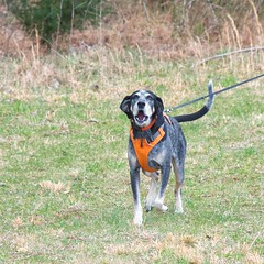 10/52 in full cry (huckleberryblue) Tags: dog gracie hiking hound baying bluetickcoonhound week9 52weeksfordogs