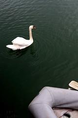 (Callum O' Keeffe) Tags: ireland irish white lake colour green water 35mm river boat swan fuji cork peaceful dirty swans oar fujifilm murky tranquil munster 2016 xe1