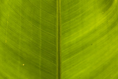 Section of a Old Leaf (SedatPhotography) Tags: old sunlight detail macro green leaves sunshine three leaf shoot shot background tropical how through towards section direct
