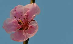 etereo... (andrea.zanaboni) Tags: pink light flower macro colors nikon rosa fiore colori magicmoments luce fioredipesco