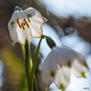 Lenteklokje van onderen (Henk M gardenphotoblog) Tags: flowers winter garden outdoor tuin signofspring lenteteken nimg0510pse
