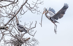 Nest Building (Wes Iversen) Tags: trees birds sticks michigan wildlife milford herons nests kensingtonmetropark greatblueherons tamron150600mm