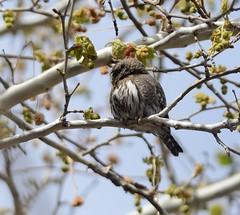 northern pygmy owl (canuck4everr) Tags: owl northern pygmy northernpygmyowl glaucidiumgnoma