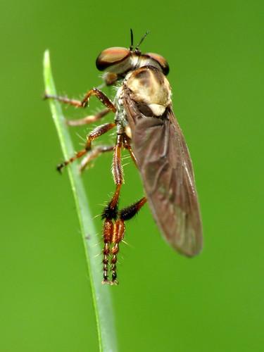 Little Robberfly