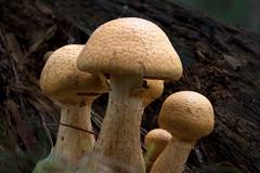 Mushroom (Myreality2) Tags: newzealand mushroom forest woods hamilton places fungus nz waikato toadstool taituaarboretum