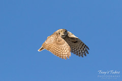 Stunning Great Horned Owl flyby sequence - 3 of 14 (TonysTakes) Tags: bird colorado wildlife raptor owl greathornedowl thornton coloradowildlife