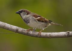 House Sparrow, male (AllHarts) Tags: ngc npc memphistn backyardbirds malehousesparrow naturescarousel