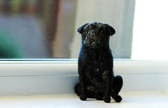 needle felted pug (adore62) Tags: black felted n pug needlefelted brightondogs needlefelteddog felteddog feltedfido