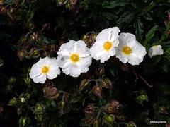 Cistus x florentinus