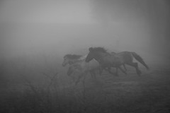 horses in the mist (stevefge) Tags: beuningen mist waal uiterwaden horses ponies wild nature natuur reflectyourworld nederlandvandaag paarden