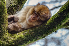 Sleep Time. (Petefromstaffs) Tags: monkeyforest barbarymacaque