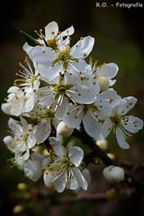 Blten / Blossoms (R.O. - Fotografie) Tags: macro nature up closeup lumix spring dof close outdoor natur blossoms panasonic makro fz 1000 dmc frhling blten wenig tiefenschrfe fz1000 dmcfz1000