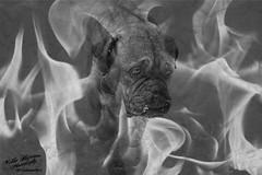 Coming. (hujanen53) Tags: portrait blackandwhite bw dog texture photoshop canon suomi finland adobephotoshop photoshopped ghost hell spooky mustavalko lappeenranta dogportrait muotokuva koira tekstuuri mustavalkoinen doguedebordeaux bordeauxmastiff bordeauxdog photoshopper canoneos700d canonefs1855mmf3556isstm bordeauxndoggi