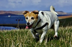 Jack Russell #5 (Dickie Imaging) Tags: uk dog scotland unitedkingdom canine terrier jackrussell yell shetland dickie gbr tingwall houster colindickie dickieimaging