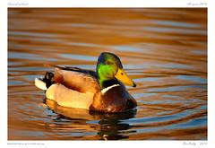Canard colvert | Anas platyrhynchos | Mallard (BerColly) Tags: sunset portrait lake france de soleil duck google flickr coucher lac canard auvergne hauteloire saintpaulien bercolly