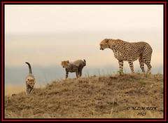 FEMALE CHEETAH WITH HER CUBS (Acinonyx jubatus).....MASAI MARA....SEPT 2015. (M Z Malik) Tags: africa nikon kenya wildlife ngc safari npc kws masaimara cheetahcubs cheetahfamily flickrbigcats exoticafricancats d800e exoticafricanwildlife 400mmf28gedvr