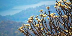 Mountian flower tree (mahesh (M@X)) Tags: flowers nature forest spring day wildlife mid hilltop savanadurga