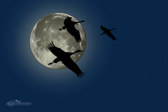 Moon_3 (mikeyasp) Tags: sky moon birds fauna outdoors nebraska silhouettes cranes avian sandhillcranes