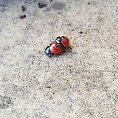 Nature at it's finest. (Avvie_) Tags: march spring mating ladybirds project365