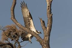 Osprey (turtlehawk) Tags: nature wildlife delaware osprey bethanybeach freshpond bluecoast wildliofe