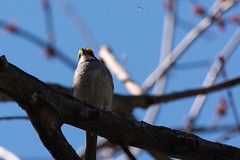 (Rick 2025) Tags: birds bugs sparrows whitethroatedsparrow