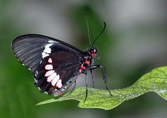 Butterfly (Nemodus photos) Tags: butterfly papillon top20butterflymoth paridesiphidamas buzznbugz backyardbutterflies top20butterflyphotos bbflowers fz1000