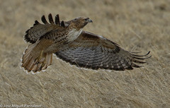 """1- Uno de sus nombre comunes es GAVILAN RATONERO, NO GAVILAN POLLERO!!Dedicada a Carlos Suarez y a su inolvidable """"Centella""""hoy criatura libre por los cielos!Nuestro amigo  cetrero nos ha mostrado el arte de como maneja a estas especies y su recuperacin (Cimarrn Mayor !!!7,000.000 DE VISITAS, GRACIAS!!) Tags: usa naturaleza newmexico bird fauna libertad amrica pssaro ave oiseau libre vogel montaas estadosunidos nationalwildliferefuge uccello panta ptak fgel lintu  dominicano ptica guaraguao   aguilillacolaroja ptek familiaaccipitridae ordenfalconiformes libertee ratonerodecolaroja cimarrnmayor gavilncolirrojo canoneos7dmarkii 7dmarkii josmiguelpantalen canon7dmarkii telefoto700mm nombrecientficobuteojamaicensis nombreinglesredtailedhawk lugardecapturabosquedelapache"""
