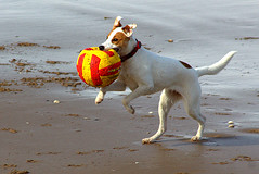 Fetch 2 (Paul Reay) Tags: new pet pets playing reflection beach dogs water ball river football sand brighton fetch playful mersey chasing wirral