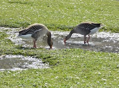 Regents Park- Greylag Geese (Climate_Stillz) Tags: green london nature grass sunshine animal geese drinking goose springflowers thirsty regentspark browngoose tz60