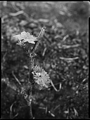Newly Planted Grapevine (Thodoris Tzalavras) Tags: photography vineyard cyprus cy 9x12 speedgraphic xrayfilm optar135 agfahdr