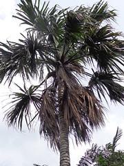 Sabal mauritiiformis (sftrajan) Tags: colombia palmtree jardimbotnico botanicgarden botanicalgarden medellin catarata jardnbotnico  ortobotanico arecaceae  palmgarden botanischetuin palmiche botanisktrdgrd coryphoideae sabalmauritiiformis jardnbotnicodemedelln jardnbotnicojoaqunantoniouribe medellinbotanicgarden palmaamarga botanicalgardenofmedelln medellnbotanicgarden palmadeguagara palmadevaca