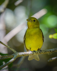 Fort De Soto Park  female Scarlet Tanager 04-23-2016 (Jerry's Wild Life) Tags: scarlet florida scarlettanager fortdesoto songbird tanager songbirds ftdesoto pinellascounty fortdesotopark ftdesotopark femalescarlettanager