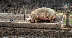 The Pigeon and the Pig (Wes Iversen) Tags: mud michigan pigeons fences pigs milford feeders mammals blackbirds hdr farmanimals manure hogs hff kensingtonmetropark nikkor24120mm fencefriday
