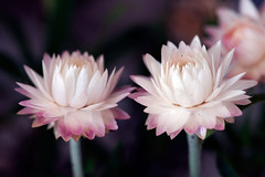 Everlasting couple... (Pensive glance) Tags: plant flower nature fleur plante aster everlasting immortelle