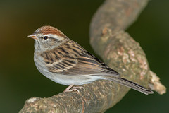 Chipping Sparrow (tresed47) Tags: home birds us pennsylvania ngc content places npc sparrow folder takenby chestercounty chippingsparrow 2013 peterscamera petersphotos canon7d 20131026longwoodhome