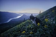 Dog Mountain (Justin Knott) Tags: flowers sunset dog mountain river nikon friend columbia hike best d800 14mm goge rokinon
